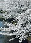 18-恩田川の桜