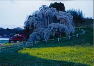 采畑見やぐ朝桜