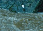 濁流と白鷺 台風の後に