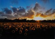 ヒマワリ畑の落日